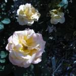 11/12/2011 AARS Test Garden (20)