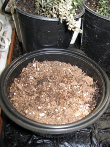 2/29/2012 Pot of Catgrass Seed in Greenhouse