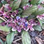 2/29/2012 Salvia, Ajuga, Dianthus in Bloom (1)
