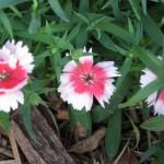 2/29/2012 Salvia, Ajuga, Dianthus in Bloom (3)