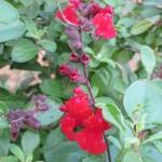 2/29/2012 Salvia, Ajuga, Dianthus in Bloom (4)