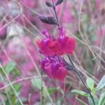 2/29/2012 Salvia, Ajuga, Dianthus in Bloom (5)
