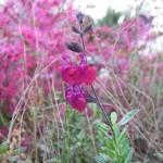 2/29/2012 Salvia, Ajuga, Dianthus in Bloom (6)