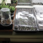 3/9/2012 March Seedlings (1)