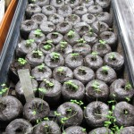 3/9/2012 March Seedlings (5)