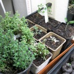 3/9/2012 March Seedlings (6)