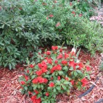3/17/2012 March Flower Beds (6)
