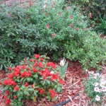 3/17/2012 March Flower Beds (7)