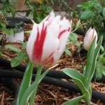 3/17/2012 March Flower Beds (9)