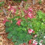 3/17/2012 March Flower Beds (16)