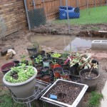 3/17/2012 March Flower Beds (20)