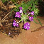 3/17/2012 March Flower Beds (21)