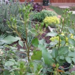 3/17/2012 March Flower Beds (24)