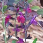 3/29/2012 Salvias and Azaleas (4)