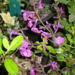 3/29/2012 Salvias and Azaleas (5)
