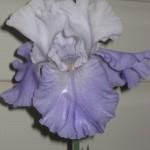 3/29/2012 Salvias and Azaleas (8)