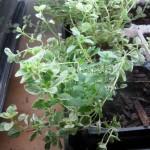 8/14/2012 Cuttings and Seedings (2)