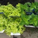 8/20/2012 New Veggie Bed 9