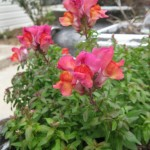 3/4/2013 March Blooms and New Plantings (19)
