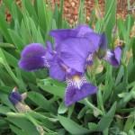 3/17/2013 Dallas Blooms (1)