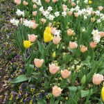 3/17/2013 Dallas Blooms (101)