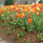 3/17/2013 Dallas Blooms (103)