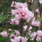 3/17/2013 Dallas Blooms (113)