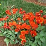 3/17/2013 Dallas Blooms (119)