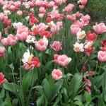 3/17/2013 Dallas Blooms (125)