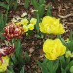 3/17/2013 Dallas Blooms (126)