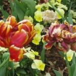 3/17/2013 Dallas Blooms (127)