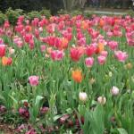 3/17/2013 Dallas Blooms (129)