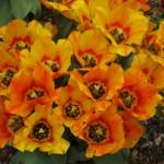 3/17/2013 Dallas Blooms (131)