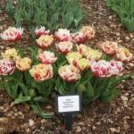 3/17/2013 Dallas Blooms (135)