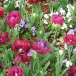 3/17/2013 Dallas Blooms (47)