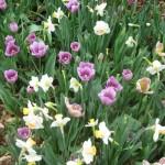 3/17/2013 Dallas Blooms (48)