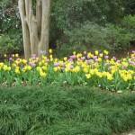 3/17/2013 Dallas Blooms (50)
