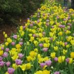 3/17/2013 Dallas Blooms (51)