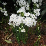 3/17/2013 Dallas Blooms (78)