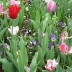 3/17/2013 Dallas Blooms (87)