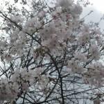 3/17/2013 Dallas Blooms (89)