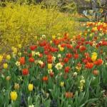 3/17/2013 Dallas Blooms (90)