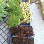 20160402 Tray of Sedums