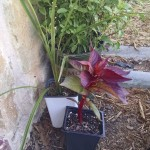 20160402 Celosia and Dracaena